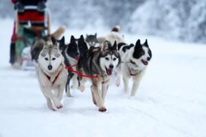 Dog Sledging