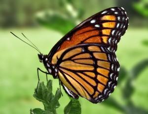 Butterflu
